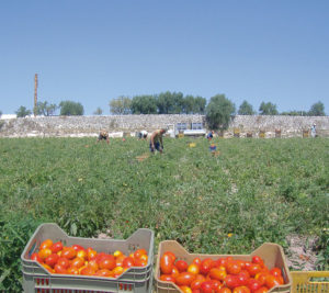 The cultivation of the Tomatoes - fields