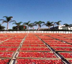 The sun drying of the tomatoes