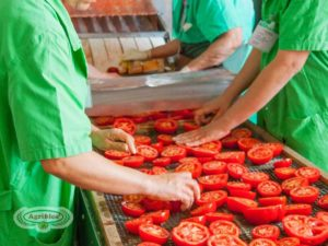 the processing of the organic tomatoes by agriblea